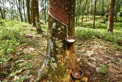 rubber plantation with bucket of latex milk