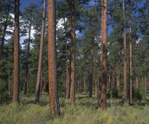 Ponderosa Pine FSC supports FloBeds
